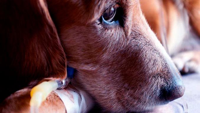капельница собаке в Москве, капельница собаке цена, инъекции для собак