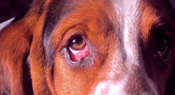 лечение болезни глаз у собак в москве