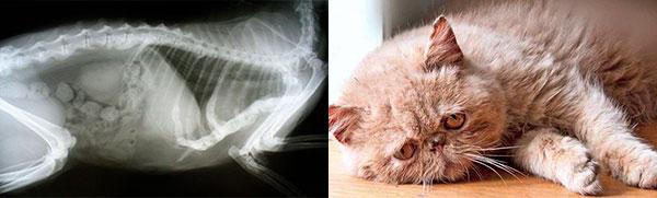 лечение мочекаменной болезни у кошек в москве