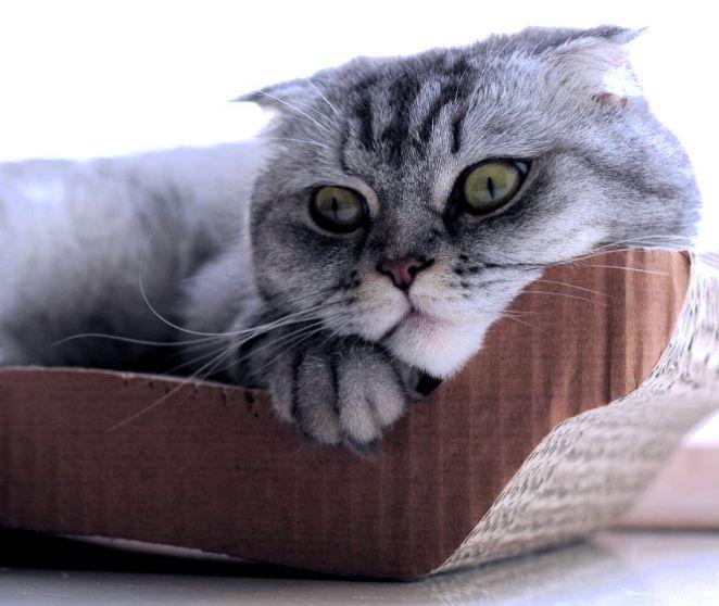 шотландская вислоухая кошка лечение