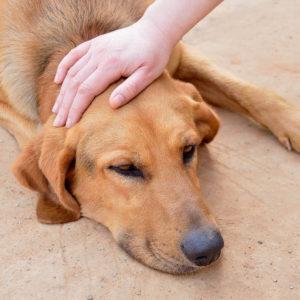 лечение гематом у собак фото