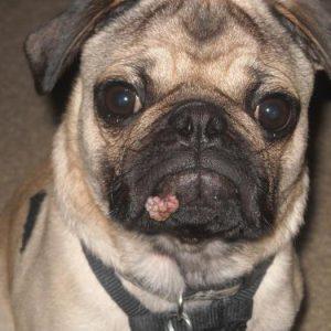 лечение папилломы у собак фото
