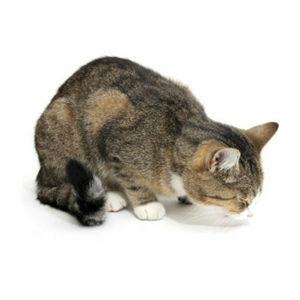 лечение рвоты у кошек фото