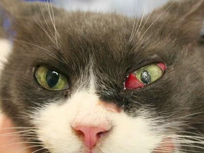 лечение третьего века у кошек в москве фотография