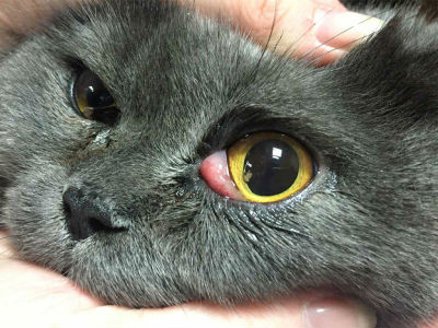 лечение третьего века у кошек фото