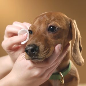 лечение третьего века у собак фото