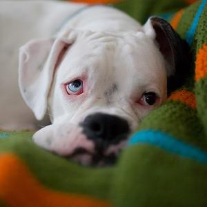 лечение воспаления у собак в Москве фотография