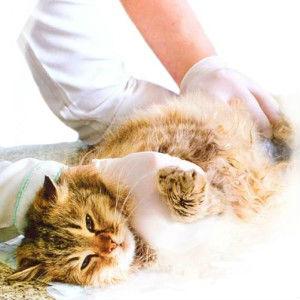 Лапароскопическая стерилизация кошек фото