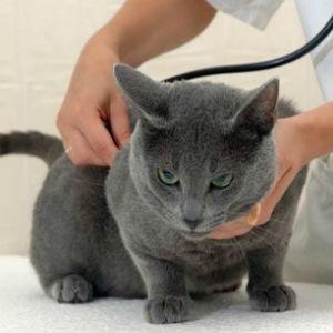 Стерилизация кошки после течки фото
