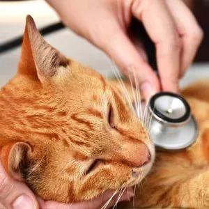 Лечение коронавируса у кошек фото