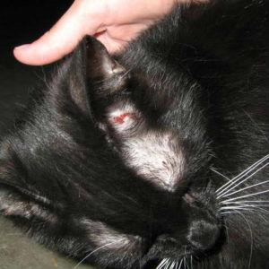 Лечение кожных заболеваний у кошек в Москве изображение