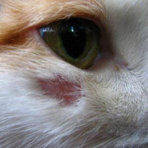 Лечение кожных заболеваний у кошек фото