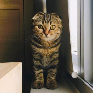 Прививки шотландским кошкам в Москве изображение