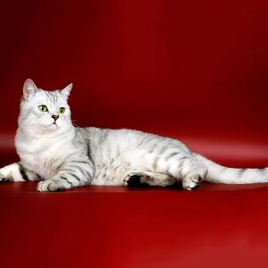 Прививки шотландским кошкам фото